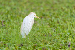 Witte eagret Stock Foto