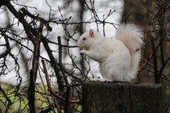 Witte eekhoorn Stock Afbeeldingen