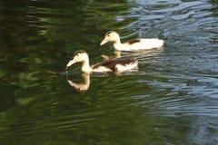Witte Eend De leuke Eend van de Baby Jonge witte eenden die in het water in het meer zwemmen De eendjes zwemmen in de vijver Baby stock foto's