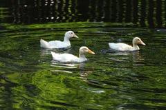 Witte Eend De leuke Eend van de Baby Jonge witte eenden die in het water in het meer zwemmen De eendjes zwemmen in de vijver Baby stock fotografie