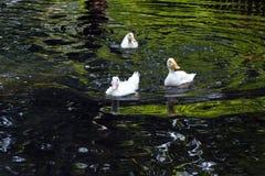 Witte Eend De leuke Eend van de Baby Jonge witte eenden die in het water in het meer zwemmen De eendjes zwemmen in de vijver Baby royalty-vrije stock foto
