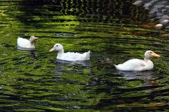 Witte Eend De leuke Eend van de Baby Jonge witte eenden die in het water in het meer zwemmen De eendjes zwemmen in de vijver Baby royalty-vrije stock afbeelding