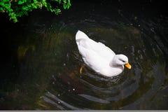 Witte eend in de vijver Royalty-vrije Stock Foto