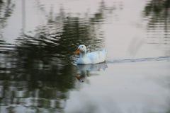Witte eend die in het meer zwemmen stock afbeeldingen