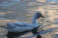 Witte eend die terwijl de zon plaatst zwemmen royalty-vrije stock afbeelding