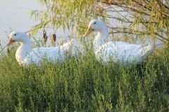 witte eend die zich op gras bevinden royalty-vrije stock fotografie