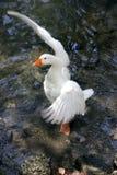 Witte eend klappende vleugels Stock Afbeelding
