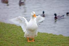 Witte eend met oranje bek en voeten die een rek hebben royalty-vrije stock afbeelding