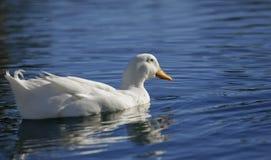 Witte eend op blauw water Royalty-vrije Stock Foto