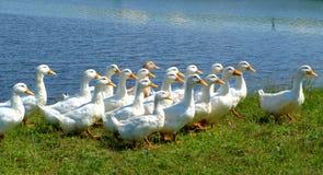 Witte eenden stock afbeelding