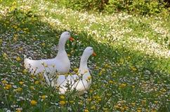 Witte eenden in de lente Royalty-vrije Stock Foto's