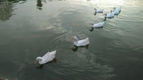 Witte eenden in een meer Stock Foto's
