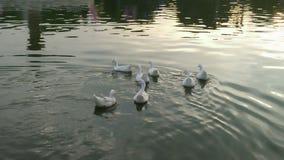 Witte eenden in een meer Royalty-vrije Stock Afbeelding