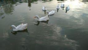 Witte eenden in een meer Royalty-vrije Stock Foto's