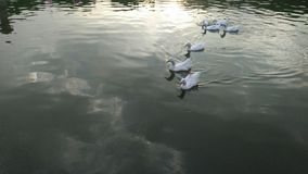 Witte eenden in een meer Royalty-vrije Stock Afbeeldingen