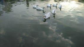 Witte eenden in een meer Stock Afbeeldingen