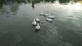 Witte eenden in een meer Royalty-vrije Stock Fotografie
