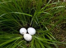 Witte eieren in gras Royalty-vrije Stock Foto's