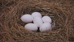 Witte eieren in het nest stock videobeelden