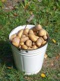 Witte emmer met nieuwe aardappels Royalty-vrije Stock Foto's