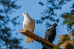 Witte en blauwe duiven tegen de hemel royalty-vrije stock foto