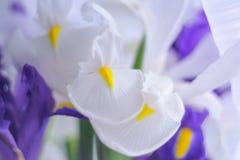 Witte en blauwe irissen Stock Foto