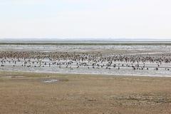 Witte en bruine eenden in Waddenzee, Ameland, Holland Royalty-vrije Stock Afbeeldingen
