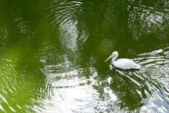 Witte en bruine ganzen in groen Stock Afbeeldingen