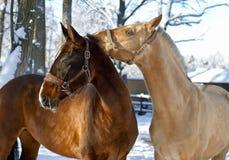 Witte en bruine paarden Royalty-vrije Stock Afbeeldingen