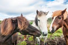 Witte en bruine paarden die gras eten Royalty-vrije Stock Fotografie
