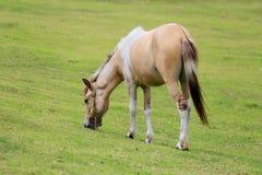 Witte en bruine paardtribune in weiland in platteland Stock Foto