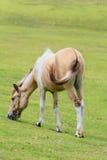 Witte en bruine paardtribune in weiland in platteland Royalty-vrije Stock Afbeelding