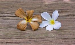 Witte en bruine Plumeria-bloem, Leelawadee-bloem, Lantom-bloem Stock Afbeelding