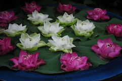 Witte en donkere roze lotuses Stock Afbeelding