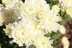 Witte en gele bloemclose-up stock foto