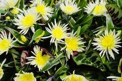 Witte en Gele Bloemen Royalty-vrije Stock Afbeeldingen