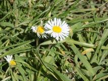 Witte en Gele Bloemen Stock Afbeelding