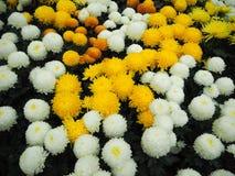 Witte en gele chrysant Royalty-vrije Stock Afbeelding