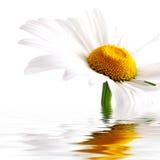 Witte en gele daisiy Stock Foto's