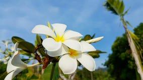Witte en gele die Frangipani in Wildernis van Thailand op koh Lanta wordt gevonden stock fotografie