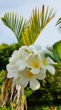 Witte en gele die Frangipani in Wildernis van Thailand op koh Lanta wordt gevonden royalty-vrije stock foto's