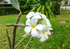 Witte en gele frangipani of, plumeriabloemen Stock Foto