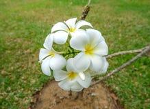 Witte en gele frangipanibloemen Stock Foto
