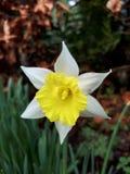 Witte en Gele Gele narcis Royalty-vrije Stock Afbeeldingen
