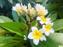 Witte en gele plumeriabloem Royalty-vrije Stock Foto