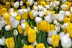 Witte en gele tulpen Royalty-vrije Stock Fotografie
