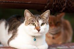 Witte en grijze kat met blauwe klok Royalty-vrije Stock Afbeeldingen
