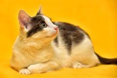 Witte en grijze katten Europese kortharig Royalty-vrije Stock Foto's