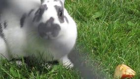Witte en grijze konijntjeskonijnen die ongeveer onderzoeken stock video