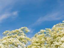witte en groene Bladeren van boom en bewolkte en blauwe hemel Royalty-vrije Stock Foto